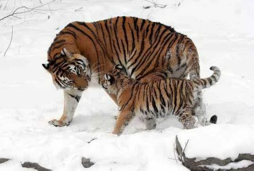 Siberian Tiger Facts For Kids - Siberian Tiger with its cub