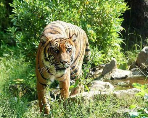 Tiger Facts For Kids - Tiger Sumatran Tiger Cat Predator Dangerous Animal