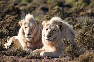 White Lions - Lion Facts For Kids