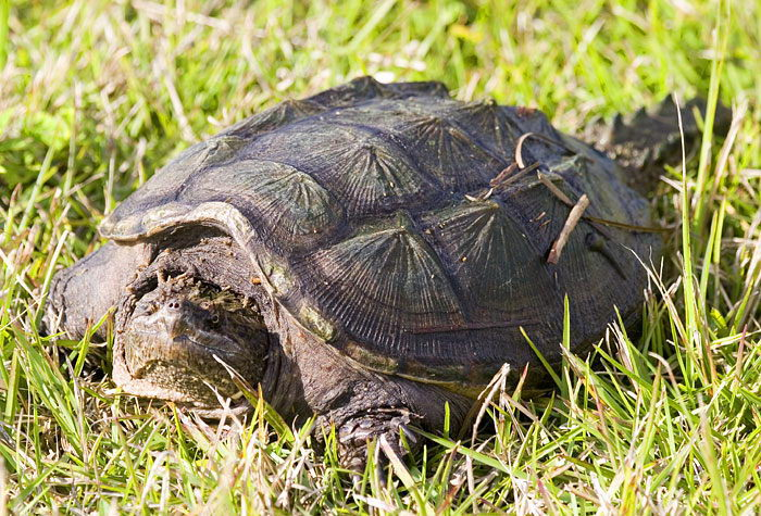 alligator snapping turtle facts - alligator snapping turtle