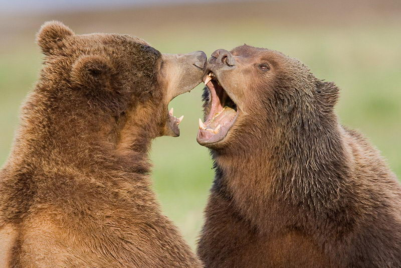 Brown Bears Playing - Brown Bear Facts