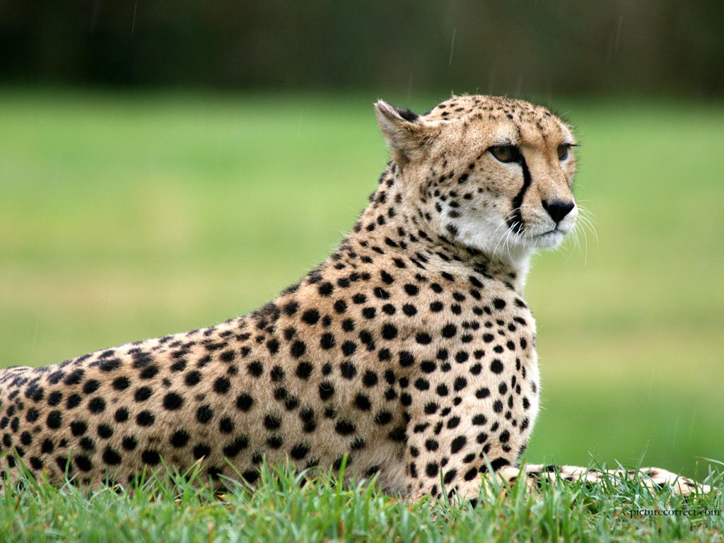 cheetahs facts