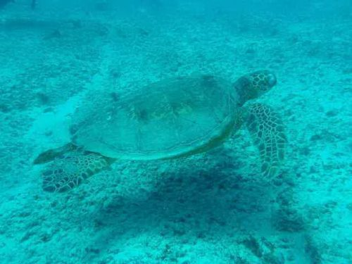 how long do sea turtle live