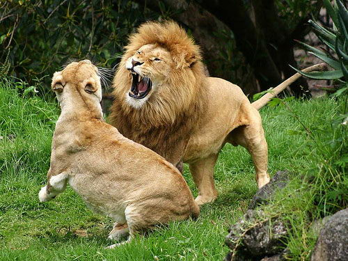 Lion Facts For Kids - Lion and Lioness