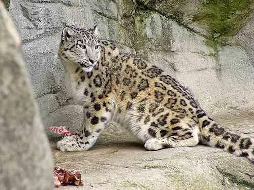 how to draw a snow leopard cub