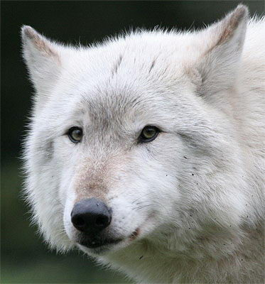 Wolf Facts - Wolf