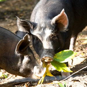 pigs eating leaves - what do pigs eat