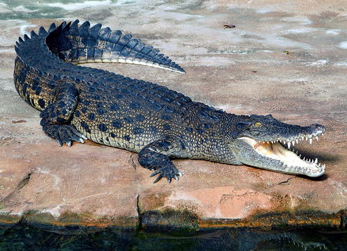 Saltwater Crocodile