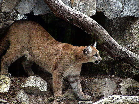 Cougar - Mountain Lion Facts For Kids