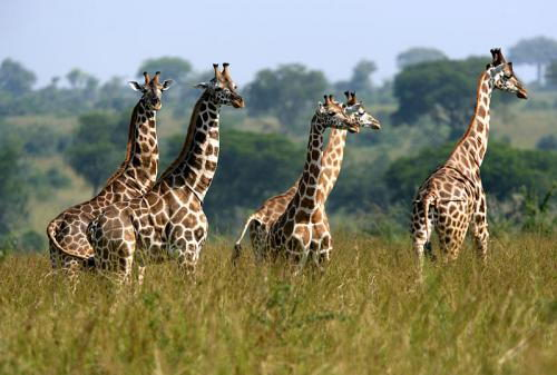 Giraffe facts for kids - A Group of Giraffes