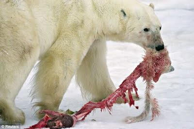 what do polar bears eat - polar bear eating baby cub