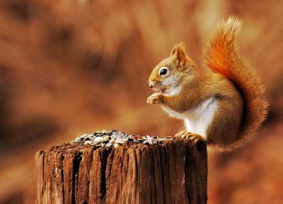 Red Squirrel - Red Squirrel facts