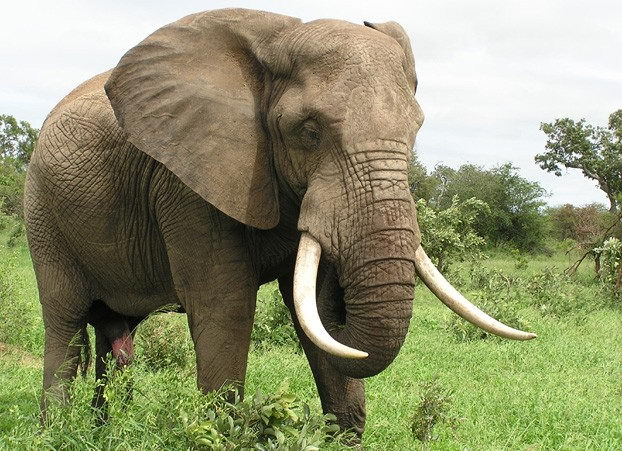 Elephant Facts for kids - African Elephant