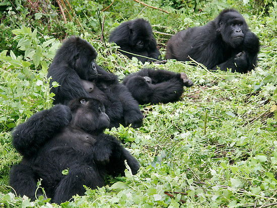 where do gorillas live- Group of gorillas