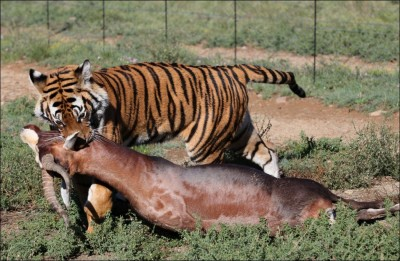 what do tigers eat
