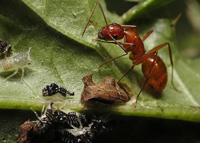 Ant (Formicidae) - What do Ants eat