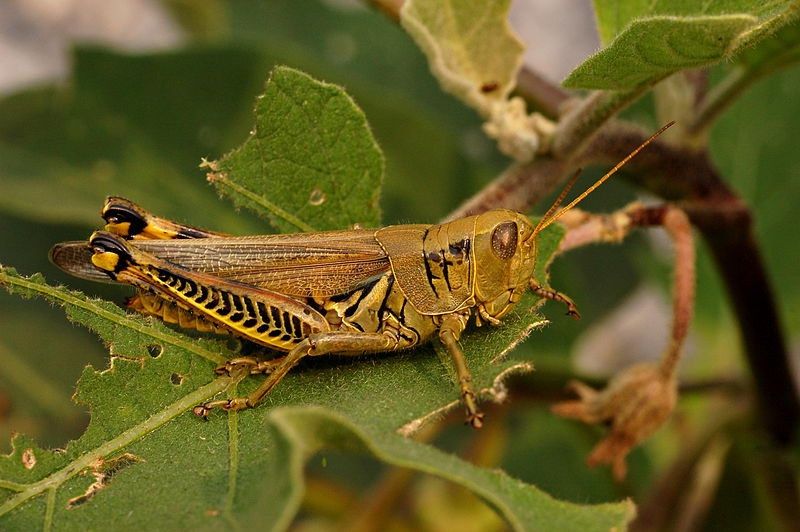 grasshopper facts for kids