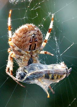 Honey bee trapped by spider - what do spiders eat