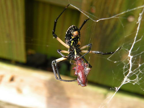 What Do Spiders Eat | What Do House Spiders Eat
