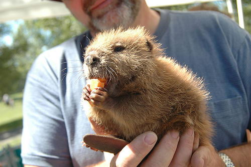 Beaver (Castor) - What do Beavers eat