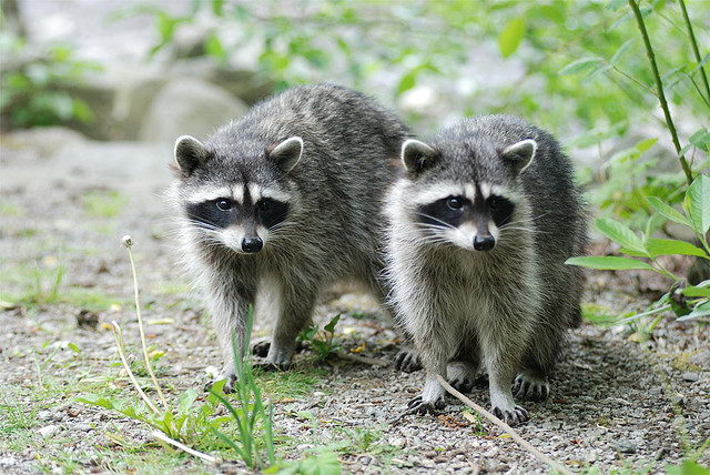 Two Raccoon facts