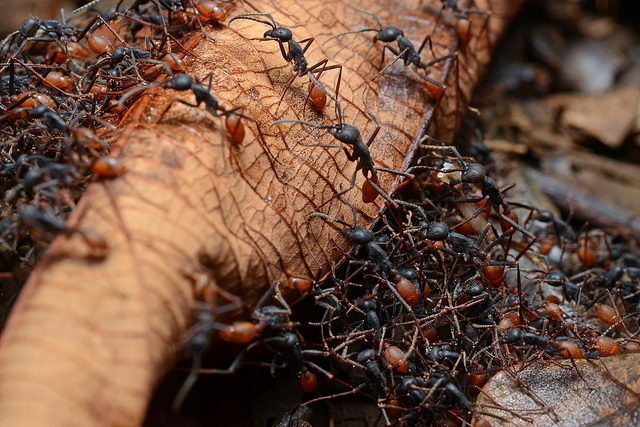 ant facts for kids | army of ants