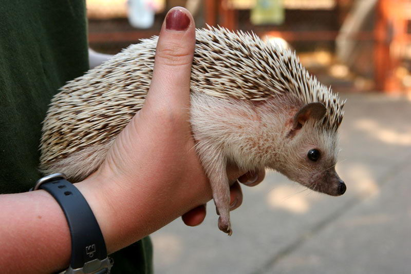 hedgehog in hand - what do hedgehogs eat