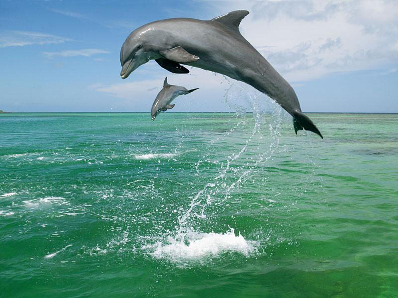 what do dolphins eat - two dolphins jumping