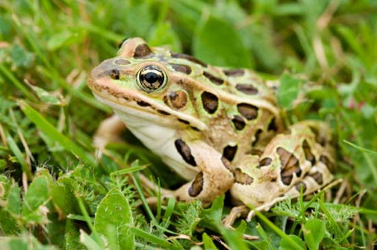leopard Frog - what do frogs eat