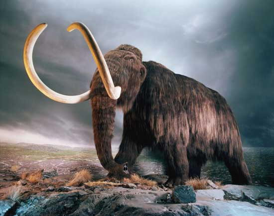 Woolly Mammoth Facts Replica in Museum Exhibit