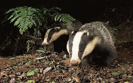 what do badgers eat