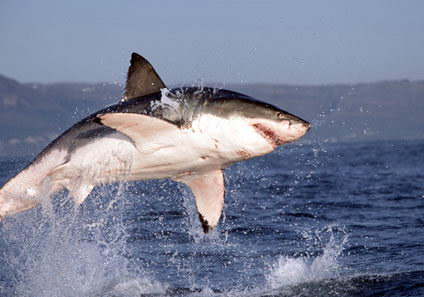 what do great white sharks eat