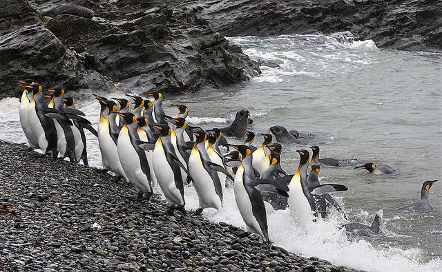 King Penguins - What Do Penguins Eat   What Do Different Types of Penguins Eat