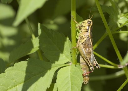 What Do Grasshoppers Eat