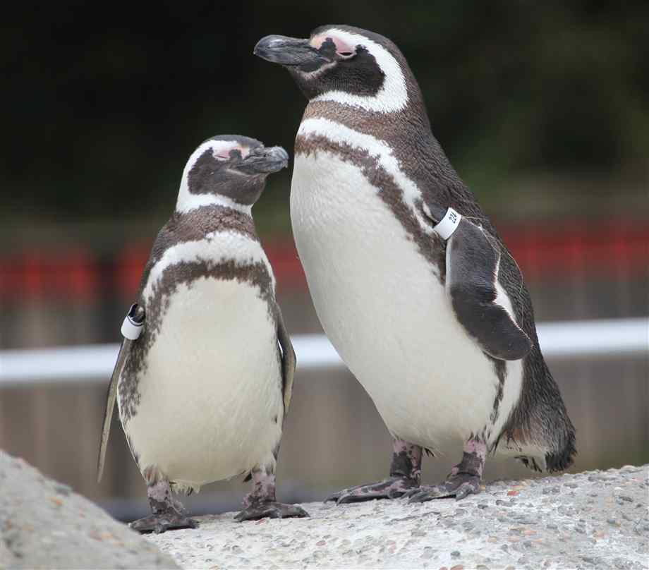 What Do Penguins Eat | What Do Different Types of Penguins Eat
