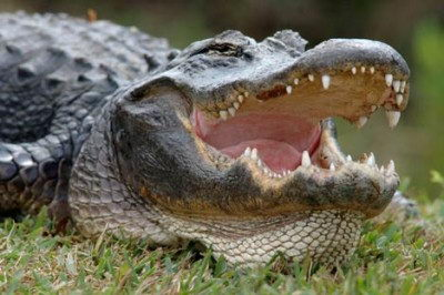 facts about alligators for kids