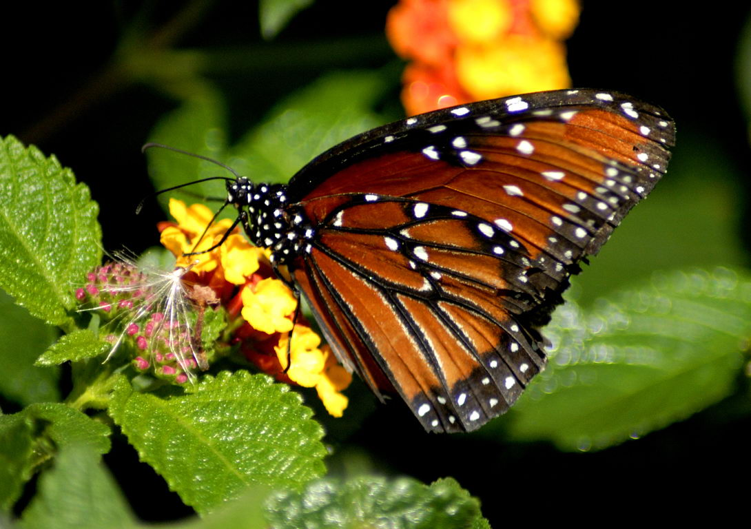 Butterfly on yellow flower - butterfly facts for kids