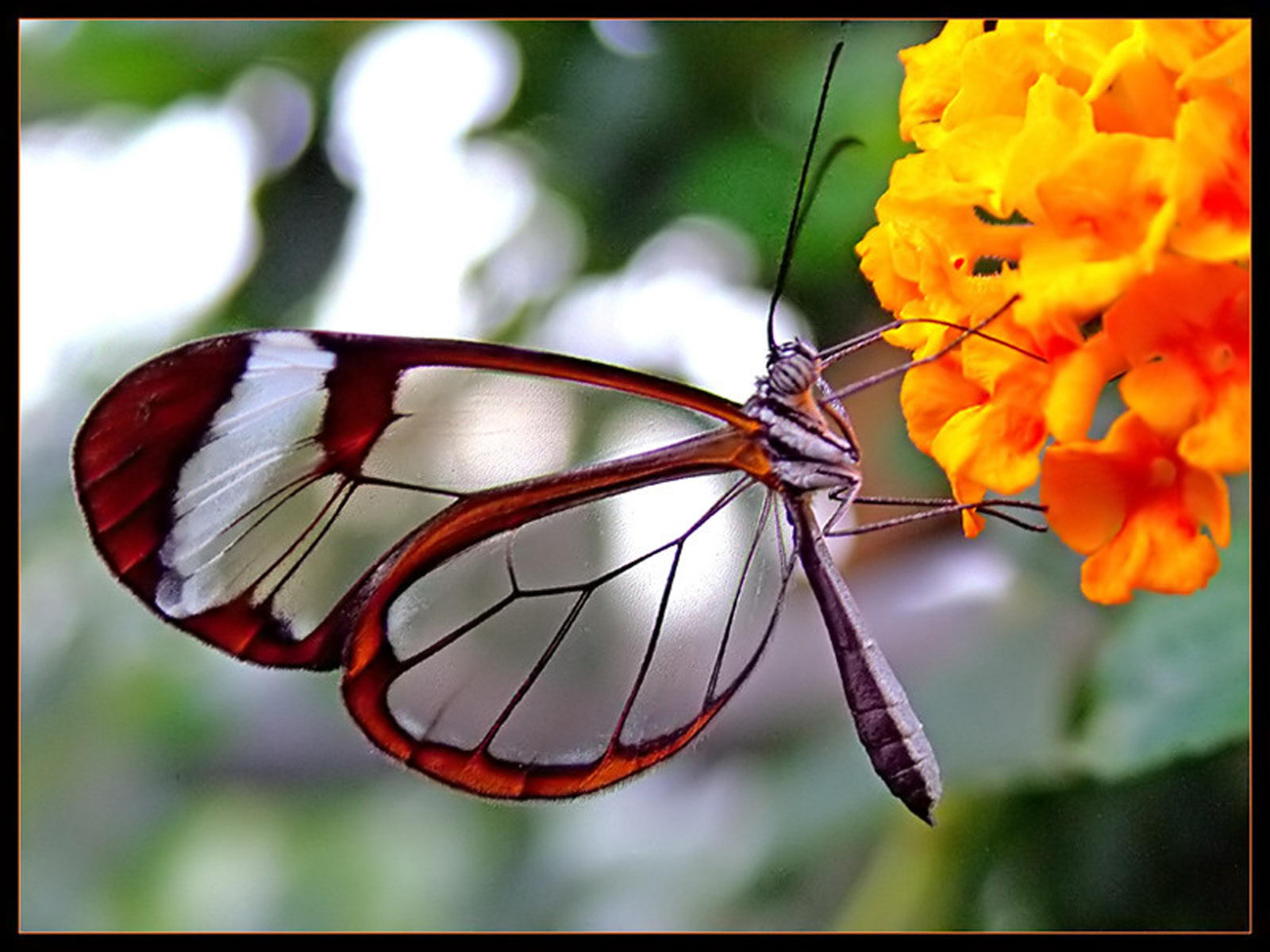 Transparent amazing butterfly- butterfly facts for kids