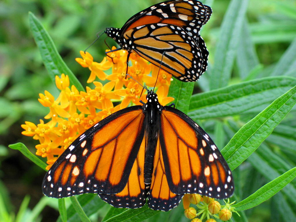 Two Butterflies- butterfly facts for kids