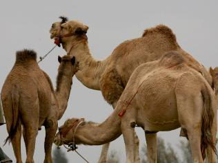 facts about camels for kids | camel pictures