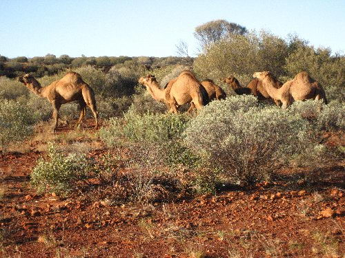 camel facts for kids