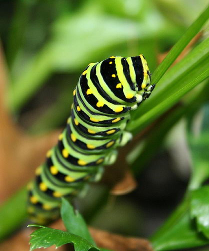Information About Processionnaires Caterpillars!