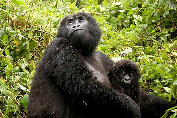 gorilla wirh baby - gorilla facts for kids