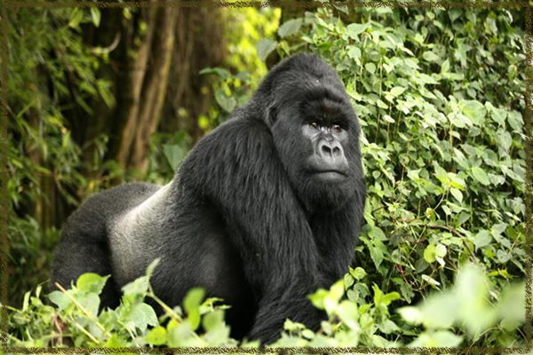 Silverback Gorilla Facts For Kids