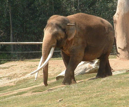 indian elephant facts for kids
