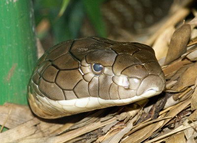 king cobra pictures