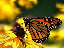 monarch butterfly facts for kids