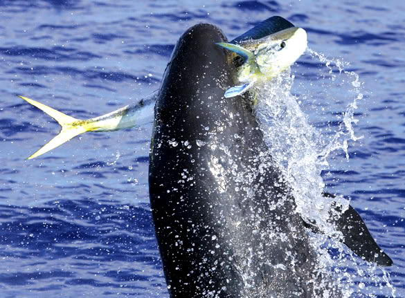 killer whale pictures | what do killer whales eat