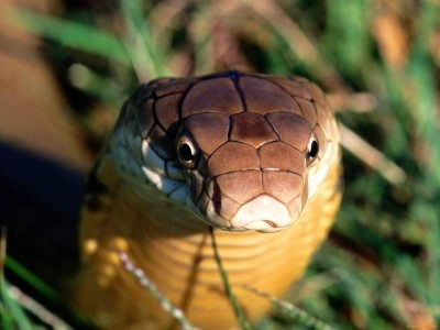 king cobra facts for kids