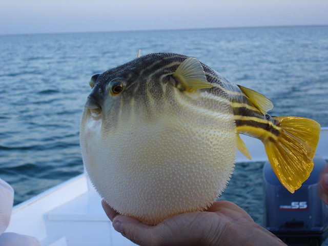 puffer fish pictures